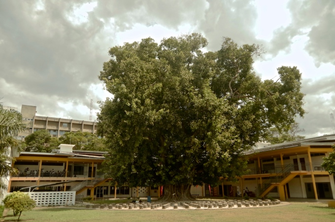 A magnificent Sacred Fig Tree on the grounds of the House of Culture.
