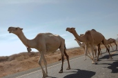 The lead camel look very happy to see me.